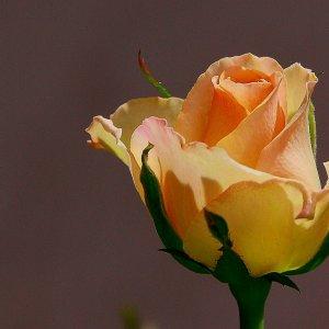 die stille Rose