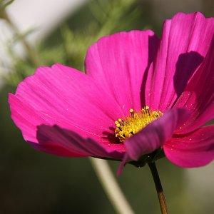 rosa Cosmea