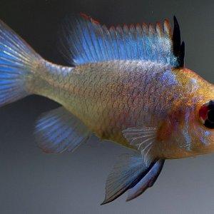 "Mikrogeophagus ramirezi ""electric blue"" ♀"