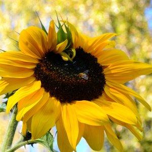 Sonnenblume im Frühherbst
