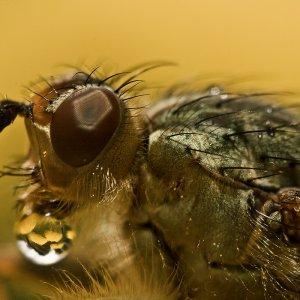 Fliegenmakro, im Tropfen spiegelt sich das Gewächs auf dem sie sitzt.