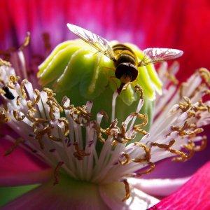 Schwebefliege auf einer Mohnblüte