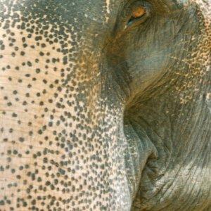Indischer Elephant