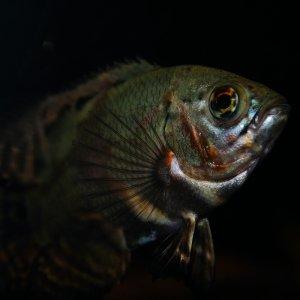 Fisch Oskar