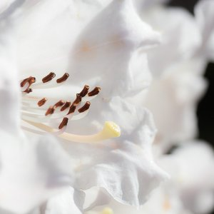 Rhododenronblüte