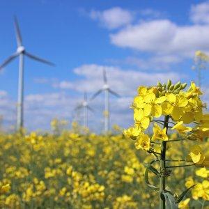 Rapsfeld mit Windrädern