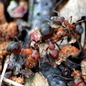 Ameisenvolk