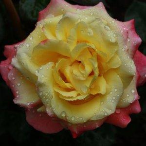 ein Hauch einer Rose