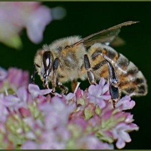 Wildbienen und Schwebfliegen bei der Arbeit ...