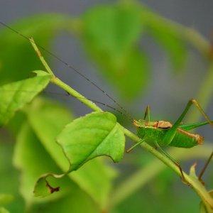 Laubholz-Säbelschreck-Männchen