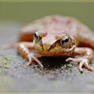 Der kleine Grasfrosch ...