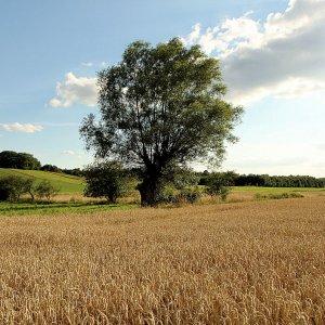 alte Weide im Kornfeld
