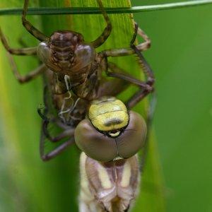 Libelle beim Schlüpfen