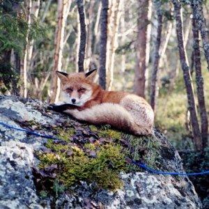 Mein Freund, der Fuchs
