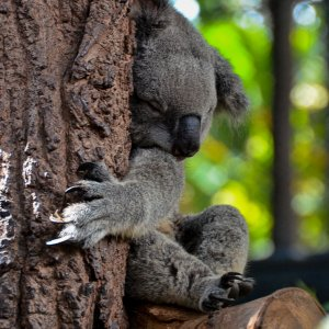 Koala Baeren