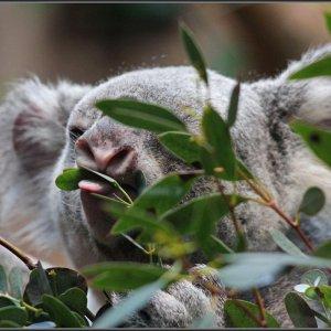 Koalas ...