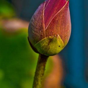 Lotus-Knospe