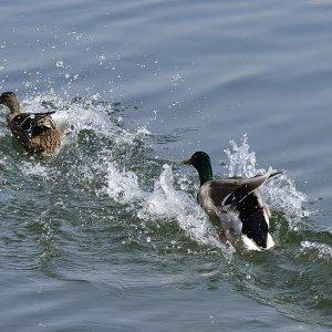 Ente Ente Ente und ein Schwan :-)