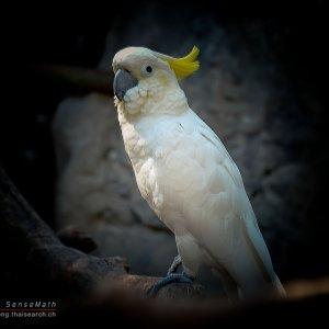 Thai Papagai2