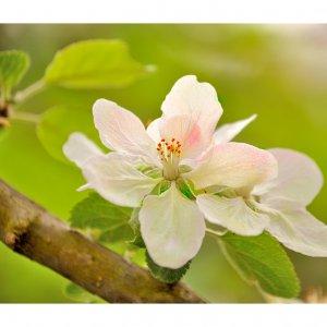 Apfelblüte, Vergissmeinnicht