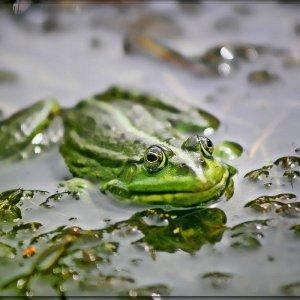 Frosch ....
