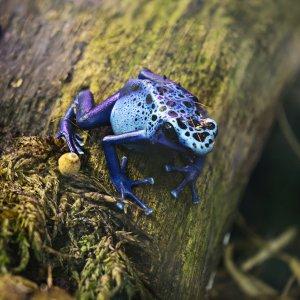 kleiner blauer Frosch