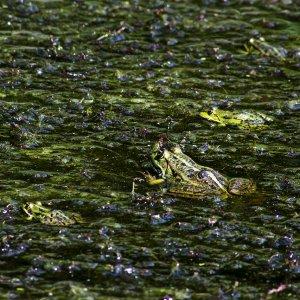 Frosch macht Pause