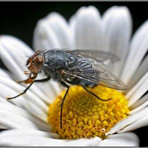 Drosophila ....