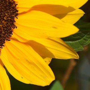 Das Leuchten der Sonnenblume