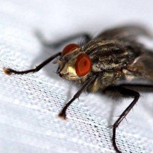 Nervende Fliege