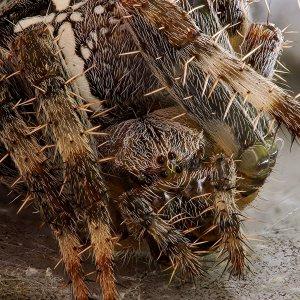 Stack - Gartenkreuzspinne