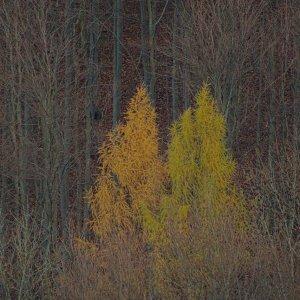 Herbstlärchen