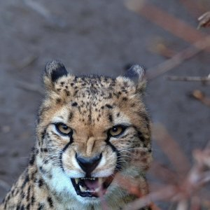 Gepard im Kölner Zoo