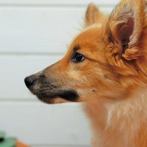 Junghund