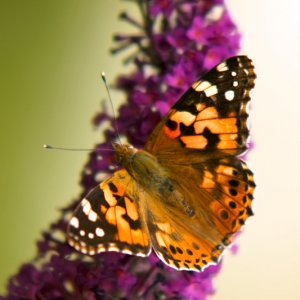 Schmetterling Pfauenauge e.c.t.