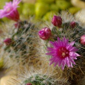 Mein Kaktus blüht