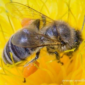 Und auch die Bienen sind schon fleißig am sammeln.