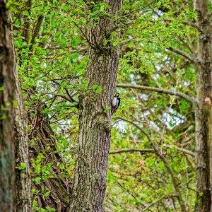 Der Zimmermann des Waldes...