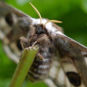 Schmetterling im Pelzmantel