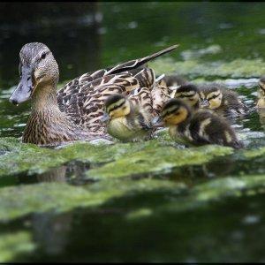 Entenfamilie ....